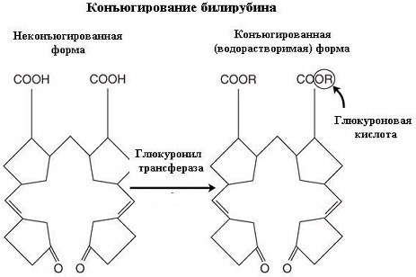 Схема конъюгации билирубина.